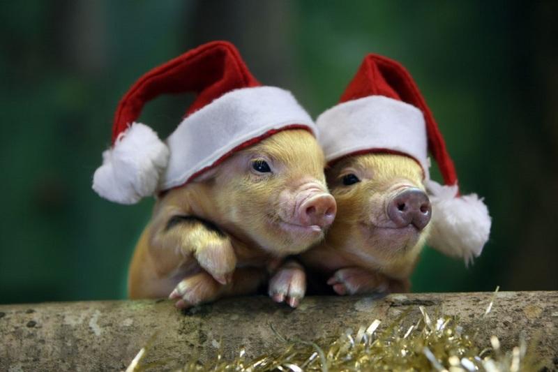 Новогодние свиньи
