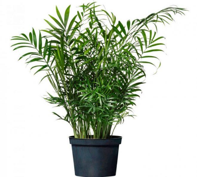 Растение хамедорея в виде пальмы