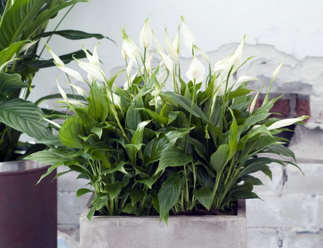 Спатифиллум и множество цветков