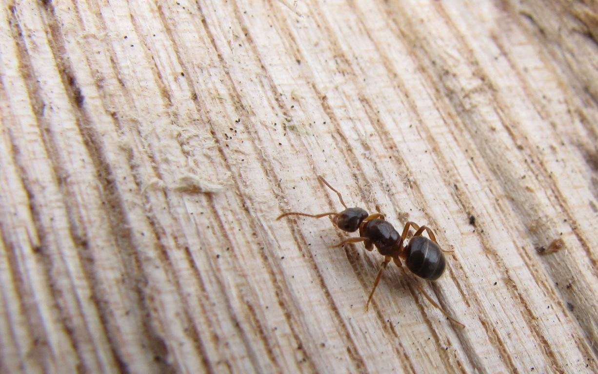 Как избавиться от муравьев в квартире раз