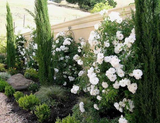 Туя с белыми розами