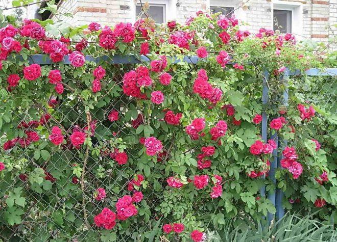 Забор из сетки рабицы, оплетённый розами
