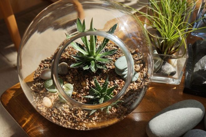 агава в террариуме