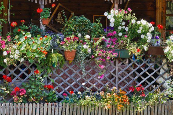 Горшечные цветы на заборе